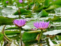 Water Lilies flowers Royalty Free Stock Images
