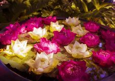 Water lilies Flowers. Pink and white flowers of water lilies (Nymphaeaceae Stock Photography