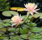 Water Lilies and Frogs Royalty Free Stock Images