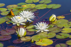 Water Lilies and Green Frog Royalty Free Stock Images