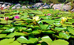 Water lilies with green leaves in a pond Royalty Free Stock Image