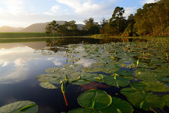 Water lilies with green lotus leafs in dam, Garden Route, South Africa Stock Images