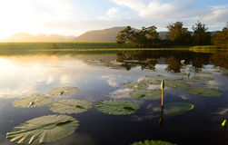 Water lilies with green lotus leafs in dam, Garden Route, South Africa Stock Photography