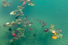 Water Lilies On A Green Surface Of A Pond. Recreation Concept Stock Images