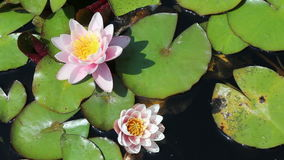 Water lilies growing in quiet waters stock footage