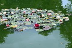 Water lilies growing in water Royalty Free Stock Photos
