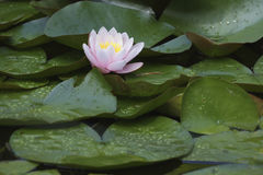 Free Water Lilies In A Pond Stock Photography - 97413182