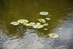 Water lilies and insects Royalty Free Stock Photos