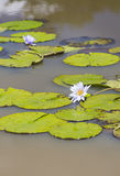 Water Lilies in Karura Forest, Nairobi, Kenya Royalty Free Stock Photo