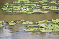 Water Lilies in Karura Forest, Nairobi, Kenya Royalty Free Stock Photos