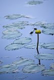 Water lilies on lake Stock Images