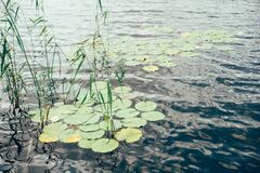 Water Lilies on a lake Stock Photos
