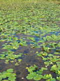 Water lilies on lake Royalty Free Stock Photos