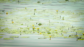 Water lilies on the lake. Beautiful rich colors of a waterlily on the water's surface. This beautiful Water Lily was photographed in the shade of a Weeping stock video