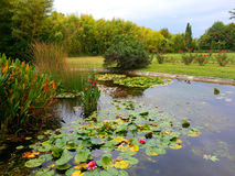 Water lilies on the lake, blooming roses and bamboo. Autumn in the city park, a lake with water lilies, blooming roses, grass and bamboo trees Stock Photos
