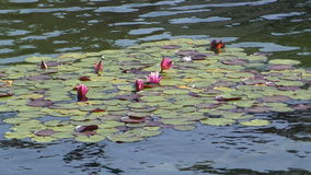 Water lilies in a lake stock footage