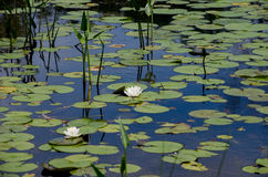Water lilies on the lake Royalty Free Stock Photos