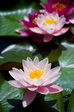 Water Lilies. In the lake in the park Stock Image