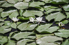 Water-lilies on the  lake Stock Images