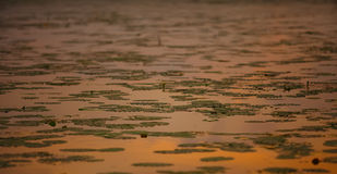 Water lilies on the lake at sunset. Shallow depth of field Stock Photos