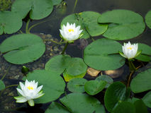 Water lilies on a pond Royalty Free Stock Photo