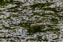 Water lilies on lake. Water lilies on top of a lake or pond about to bloom stock images
