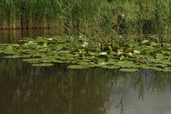 Water Lilies on Lake. White Water Lilies on Lake and Reflections Stock Photo
