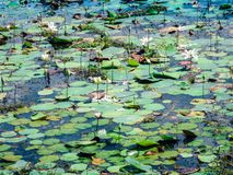 Water lilies in the lake of Yala national park, sri lanka`s most famous wild life park.  stock photos