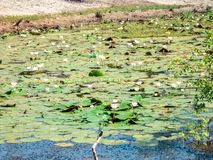 Water lilies in the lake of Yala national park, sri lanka`s most famous wild life park.  royalty free stock photography