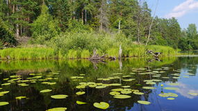 Water lilies landscape Stock Photo