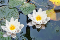 Water lilies. Latin name Nymphaea lutea flowers stock images