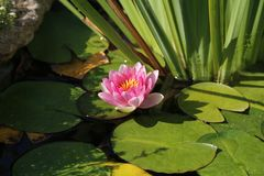 Water lilies. Leaves of the water lily swim in the pond / water lilies stock photography