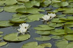 Water lilies and leaves in a pond stock images