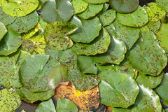 Water lilies and lily pads Stock Photo