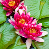 Water lilies and lily pads Royalty Free Stock Photo