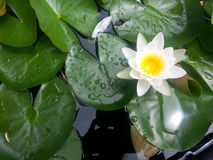 Water Lilies and Lily pads Stock Image