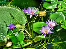 Water lilies with lily pads. Water lilies with blue blossoms on top of green lily pads Stock Images