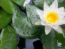 Water Lilies and Lily pads Royalty Free Stock Images