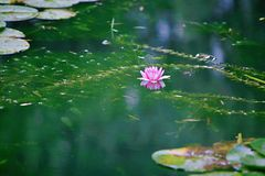 Water lilies. Water lily, perennial aquatic plant. A family of angiosperm, dicotyledonous, and water lily, belonging to the genus nilodon. Because the plants of stock photo