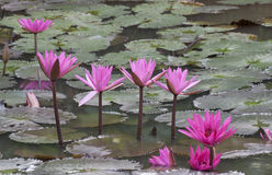 Water Lilies. Water lily in the pond Stock Images