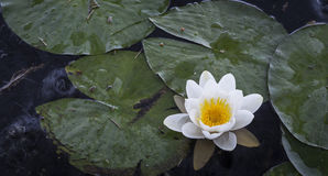 Water lilies at Loch Garten in Scotland. Royalty Free Stock Images
