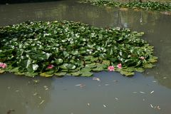 Pink water lilies. Water lilies and lotus blooming in a lake stock photo