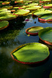 Water lilies. Mauritius garden flowers big Royalty Free Stock Image