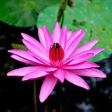 Water Lilies. Members of this family are commonly called water lilies and live as rhizomatous aquatic herbs in temperate and tropical climates around the world royalty free stock images