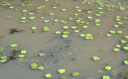 Water lilies. Royalty Free Stock Images