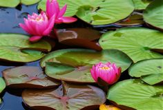 Water Lilies. The most easily recognized aquatic plants, water lilies float on the water`s surface surrounded by large, round, green leaves Stock Photos