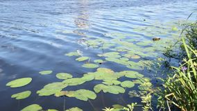 Water lilies moving in the river footage stock video