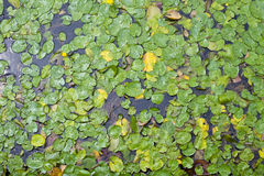 Water Lilies at Muckross lake Killarney Ireland. Water Lilies at the Lakes of Killarney are a renowned scenic attraction located near Killarney, County Kerry, in Stock Images