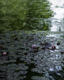 Water lilies in a mystical pond. Mysteriose pond with green reflections of trees and water lilies on the foreground.Blurred background.Copy space Royalty Free Stock Images