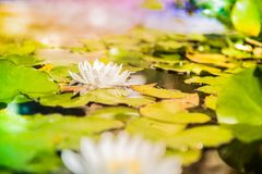 Water Lilies. Nymphaeaceae is a family of flowering plants, commonly called water lilies. They live as rhizomatous aquatic herbs in temperate and tropical Royalty Free Stock Photos